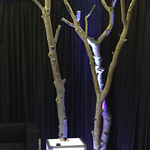 Real Quaky Aspen tree clusters for decor rental in Midvale Utah